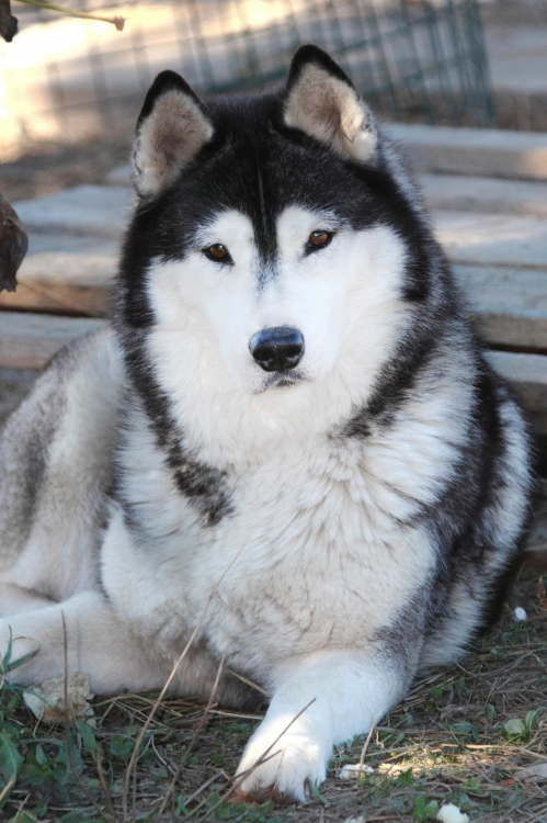 Husky Haven Tides of the Moon