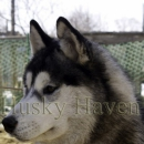 Husky Haven Champagne For Hero
