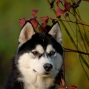 Husky Haven Fatal Attraction