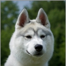 Husky Haven Ussi-Pussi