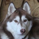 Husky Haven Honey Victress