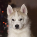 Husky Haven Force Of Good Will