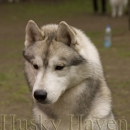Husky Haven Tango And Cash