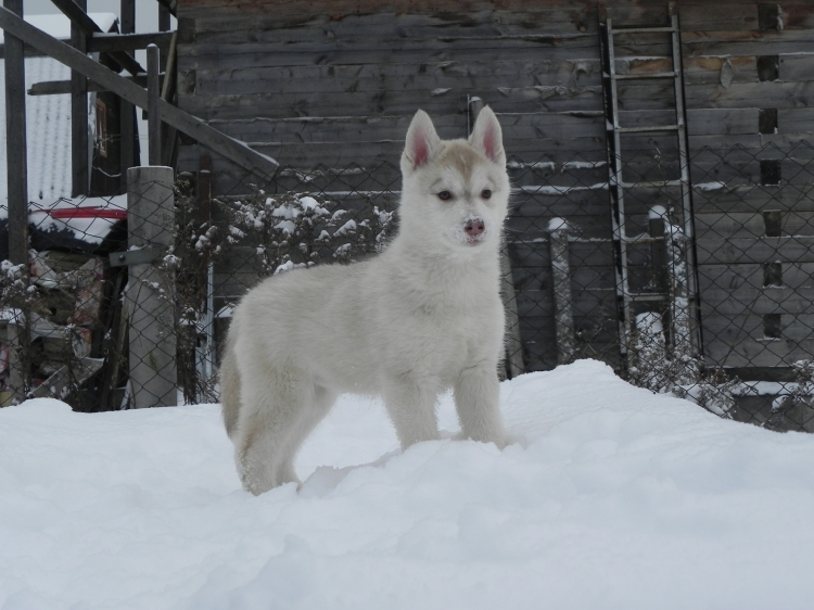 Husky Haven Never Give Up