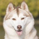 Husky Haven New Diamond Of Siberia