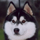 Husky Haven Black Miracle