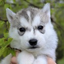 Husky Haven Kit Harington