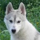 Husky Haven Capable Beauty